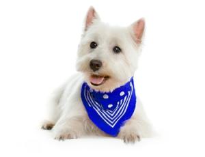 Dog-Grooming-Westie