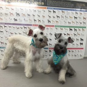 dog-grooming-colleyville-schnauzers