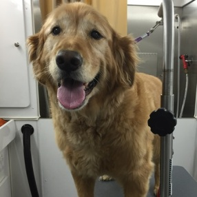 dog-grooming-keller-retriever