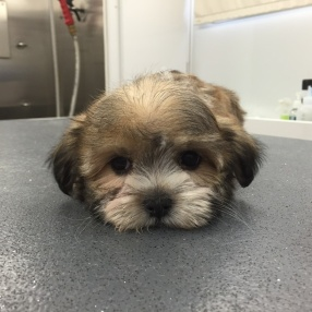 dog-grooming-southlake-pup