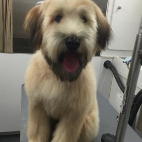 dog-grooming-westlake-1