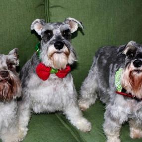 fur-connection-dog-grooming-3-schanuzers
