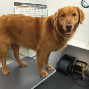 fur-connection-dog-grooming-retriever
