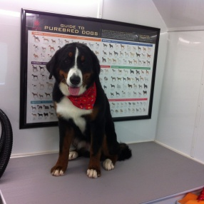 fur-connection-pet-grooming-bernese-mountain-dog