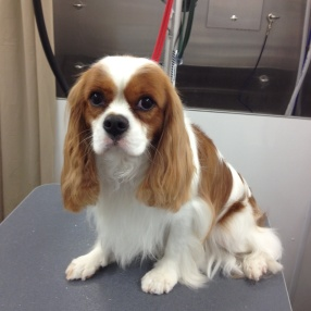 fur-connection-pet-grooming-cavalier